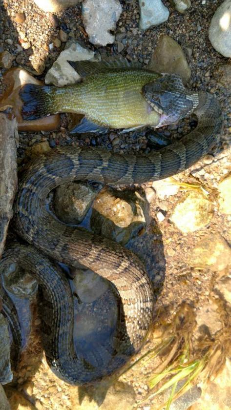 Water Hunter - Water Snake-12234-1494981329-jpg