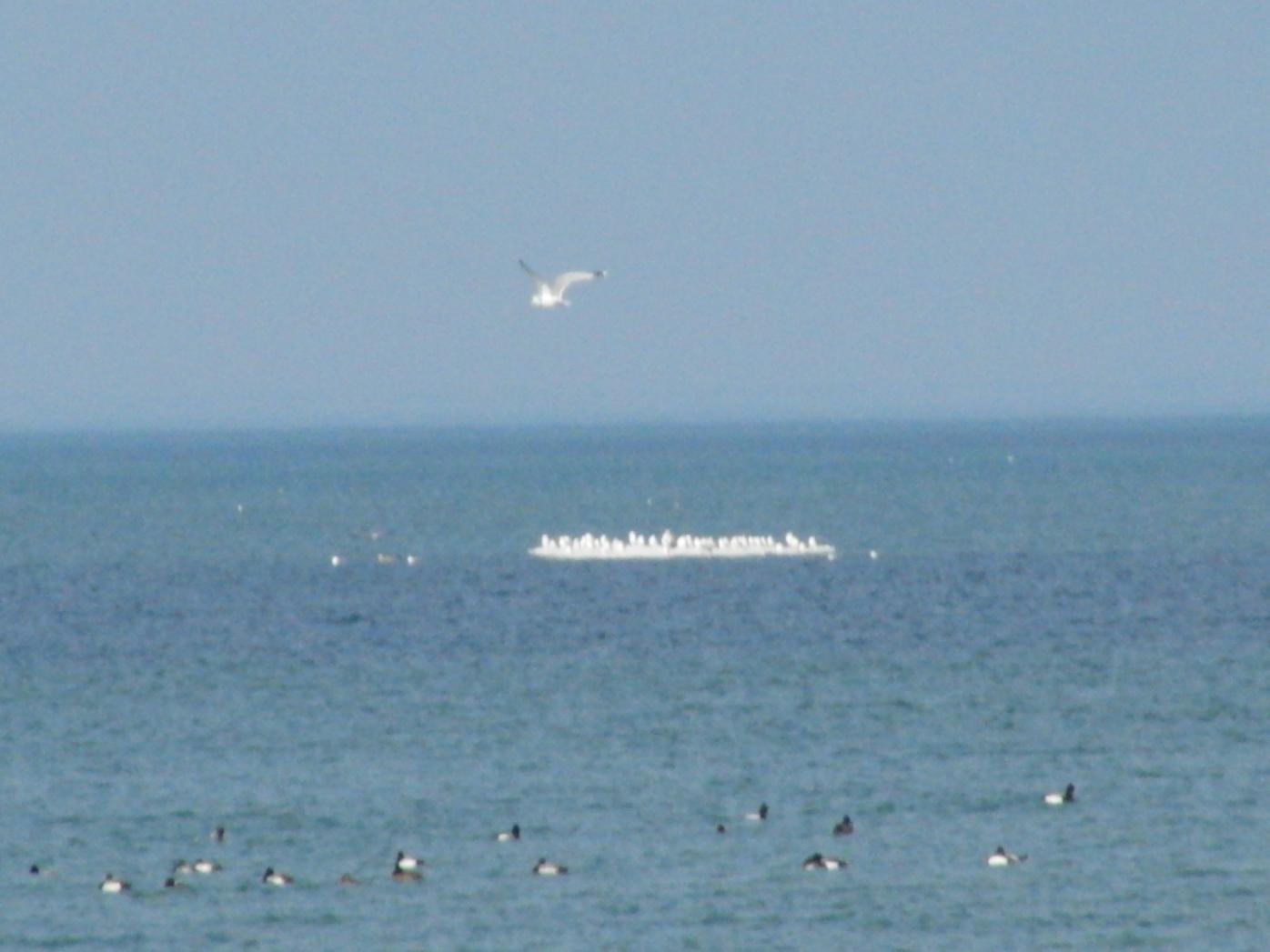 Open water-lake-erie-scaup-gulls-ice-flow-gull-flying-022721-jpg