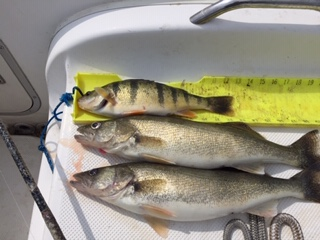 Water Dogs~ Perch Report-img_0825-jpg