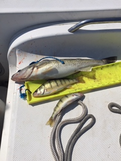 Water Dogs~ Perch Report-img_0828-jpg
