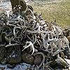 Whitetail Sheds by pimplepounder in Member's Categories